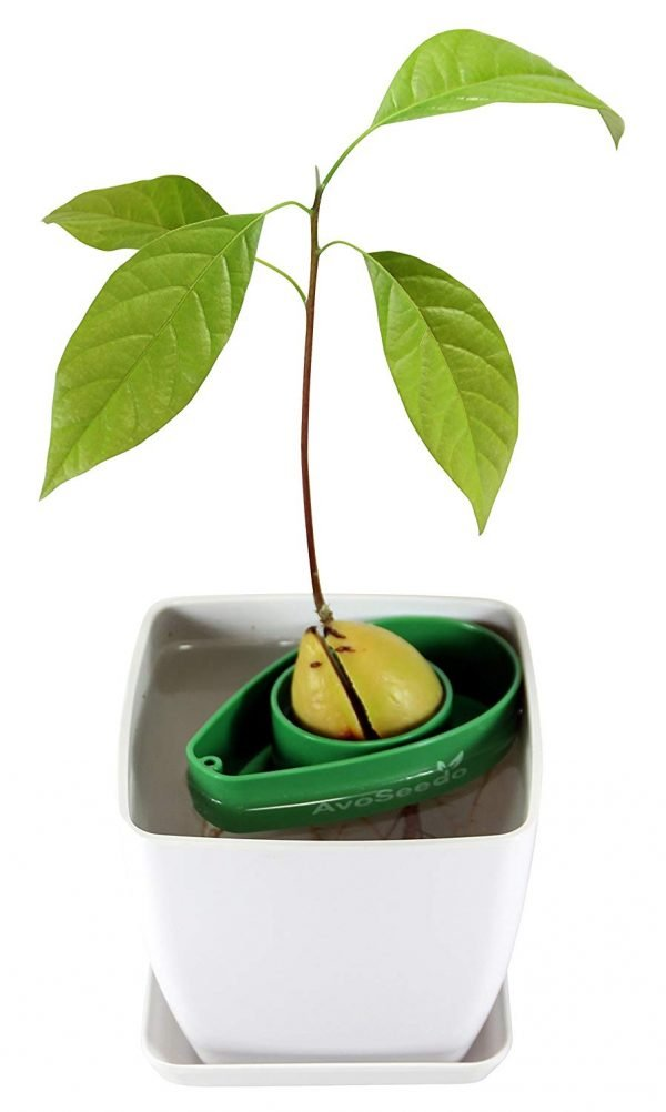 Avocado Growing Kit 2