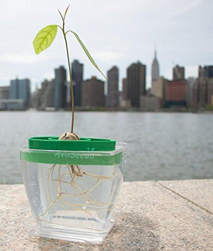 Avocado Growing Kit 4