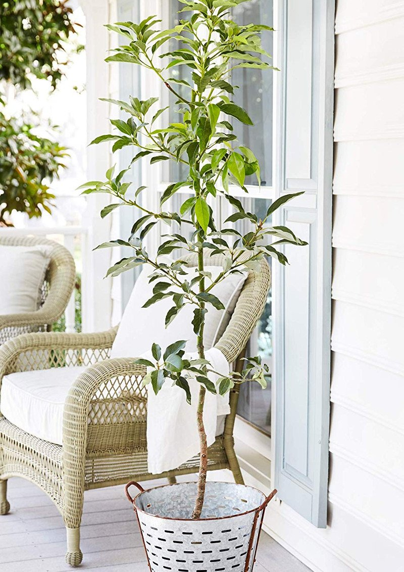 Buy an Avocado Tree with Free Delivery